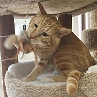 Domestic Shorthair Cat for adoption in Burbank, California - O'Malley