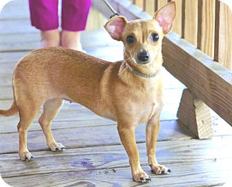Dachshund/Chihuahua Mix Puppy for adoption in Portland, Oregon - Chiquita