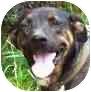 Catahoula Leopard Dog/Plott Hound Mix Dog for adoption in Newington, Connecticut - Susie