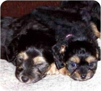 Cockapoo Mix Puppy for adoption in Encino, California - Puppies/Pending