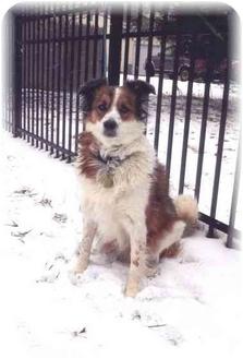 Border Collie/Sheltie, Shetland Sheepdog Mix Dog for adoption in Baldwin, New York - Mina