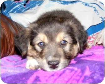 "Labrador Retriever Mix Puppy for adoption in Marion, Arkansas - ""B"" Pups: Brooke"