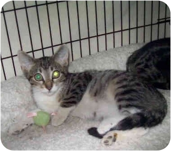 Domestic Shorthair Kitten for adoption in St. Louis, Missouri - Leonard