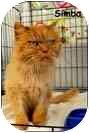 Persian Cat for adoption in Merrifield, Virginia - Simba