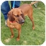 Photo 4 - Redbone Coonhound Dog for adoption in Powell, Ohio - Ruby Jayne