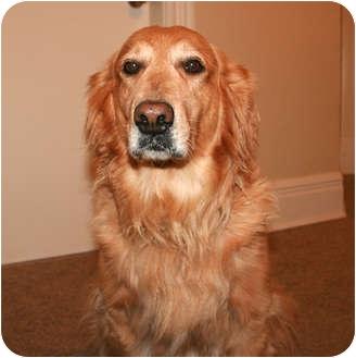 Golden Retriever Dog for adoption in Rigaud, Quebec - Megan