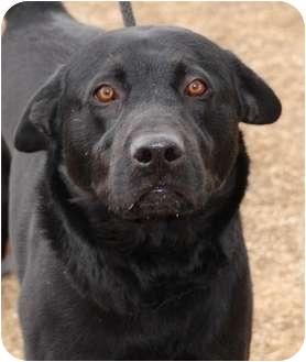 Labrador Retriever Mix Dog for adoption in Gardnerville, Nevada - Bodie