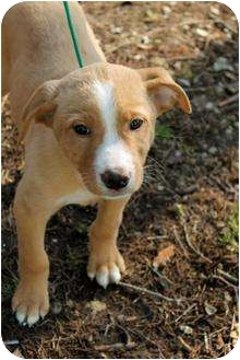 Labrador Retriever/Boxer Mix Puppy for adoption in Buffalo, New York - Gyro: 12 weeks
