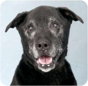 Labrador Retriever Mix Dog for adoption in Chicago, Illinois - Alex