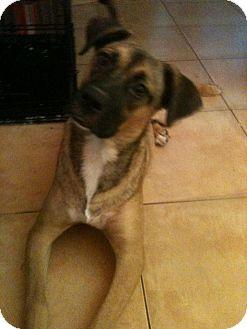 Rhodesian Ridgeback/Black Mouth Cur Mix Puppy for adoption in San Diego, California - Tikis