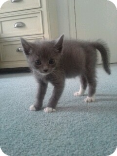 Domestic Shorthair Kitten for adoption in Island Park, New York - Joy