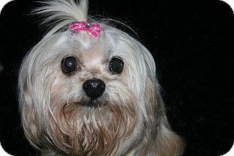 Maltese Mix Dog for adoption in Fort Braff, California - Abbie