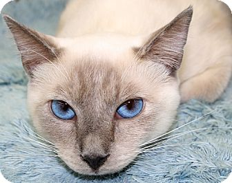 Siamese Cat for adoption in Asheville, North Carolina - Sky