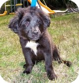 Border Collie/Labrador Retriever Mix Puppy for adoption in Allentown, Pennsylvania - Millie Mae