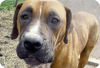 Boxer/Labrador Retriever Mix Dog for adoption in Moulton, Alabama - Dylan