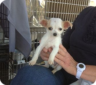 Chihuahua Mix Puppy for adoption in Santee, California - Tiny