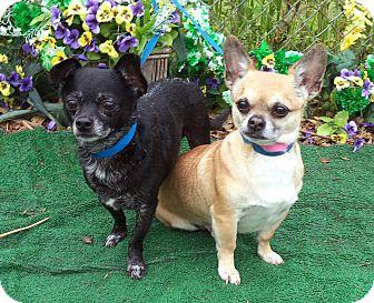 Chihuahua Mix Dog for adoption in Marietta, Georgia - TACO & BELL