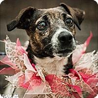 Adopt A Pet :: Jackie in Tulsa - Oklahoma City, OK
