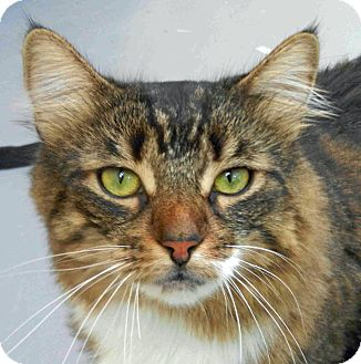 Domestic Longhair Cat for adoption in Tinton Falls, New Jersey - Aero