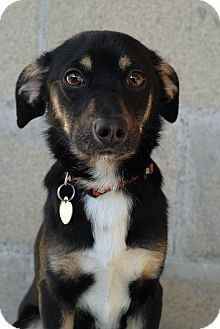 Australian Shepherd/Chihuahua Mix Dog for adoption in Los Angeles, California - Ranger