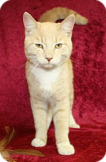 Domestic Shorthair Cat for adoption in Jackson, Michigan - Galahad
