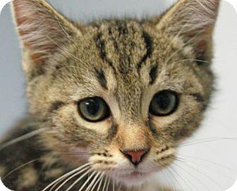 Domestic Shorthair Kitten for adoption in Staunton, Virginia - Finch