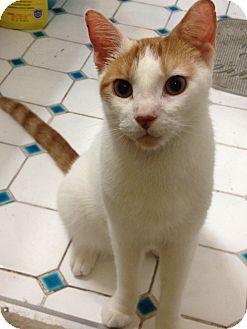 Domestic Shorthair Cat for adoption in Philadelphia, Pennsylvania - Mozart