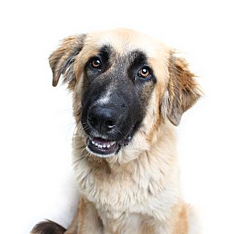 Great Pyrenees Mix Dog for adoption in Wilmington, Delaware - Chestnut