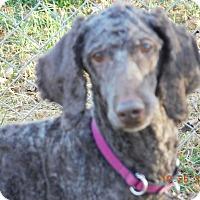 Adopt A Pet :: Estrella ADOPTED! - moscow mills, MO