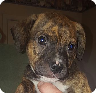 Black Mouth Cur Mix Puppy for adoption in Hagerstown, Maryland - Sherman