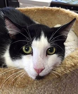 Domestic Shorthair Cat for adoption in Porter, Texas - Joey
