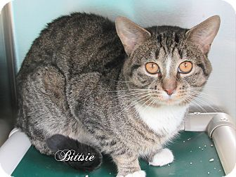 Domestic Shorthair Cat for adoption in Jackson, New Jersey - Bittsie