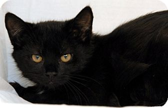 Domestic Shorthair Cat for adoption in Newland, North Carolina - Fontaine