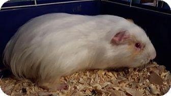 Guinea Pig for adoption in Simcoe, Ontario - Gitalla
