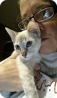 Oriental Kitten for adoption in Levelland, Texas - Zuri
