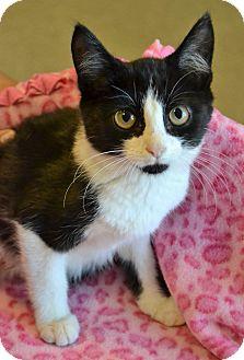 Domestic Shorthair Kitten for adoption in Michigan City, Indiana - Oreo