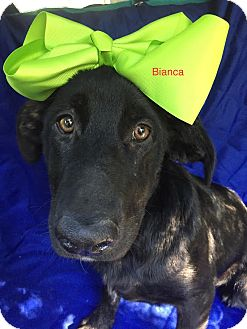 Labrador Retriever Mix Dog for adoption in East Hartford, Connecticut - Bianca in CT