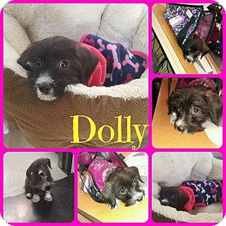 Schnauzer (Miniature)/Dachshund Mix Dog for adoption in Ft Worth, Texas - Dolly