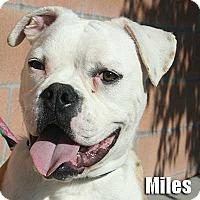 Adopt A Pet :: Miles - Encino, CA