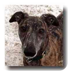 Greyhound Dog for adoption in Roanoke, Virginia - Rap