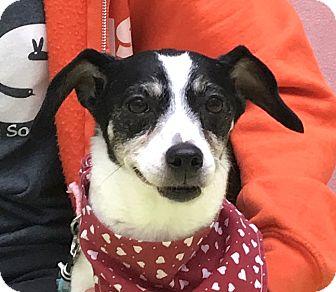 Rat Terrier Mix Dog for adoption in Evansville, Indiana - Dottie