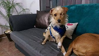 Terrier (Unknown Type, Small) Mix Dog for adoption in Chula Vista, California - Jack
