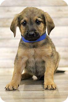 Shepherd (Unknown Type) Mix Puppy for adoption in Waldorf, Maryland - Pikachu