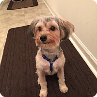Yorkie, Yorkshire Terrier/Poodle (Standard) Mix Dog for adoption in Newark, Delaware - Sochi