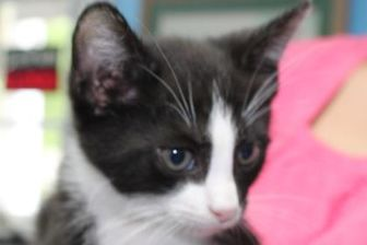 Domestic Shorthair/Domestic Shorthair Mix Cat for adoption in Robinson, Illinois - Chip