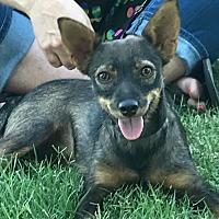 Adopt A Pet :: Annabelle - Turlock, CA
