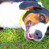 Adopt A Pet :: Andrea - Batesville, AR