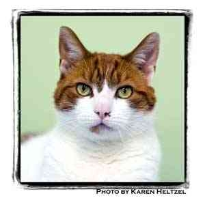 Domestic Shorthair Cat for adoption in Warren, Pennsylvania - Bailey
