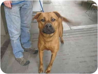 Chow Chow/Shepherd (Unknown Type) Mix Dog for adoption in Los Angeles, California - Clifford the BIG Red Dog