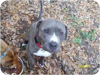 Pit Bull Terrier Mix Dog for adoption in Palm Bay, Florida - Romeo